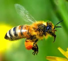 abeille2