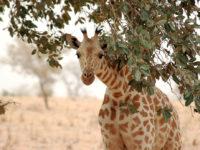 Giraffe_koure_niger_2006 (Niger. Les girafes de Kouré, lieu d'attraction djihadiste)