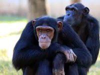 singes (Chronique d'été, avec et sans masque. 4 – Du gratte-dos, des monstrueux traîne-couillons, du Niqab pour tout le monde)